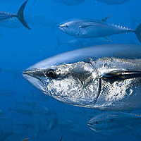 Tuńczyk