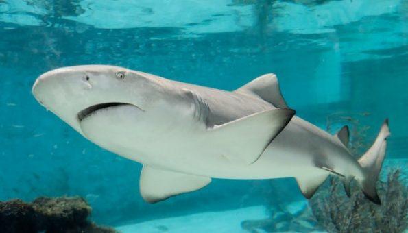 Wątroba rekina jest źródłem cennych składników wzmacniających odporność organizmu
